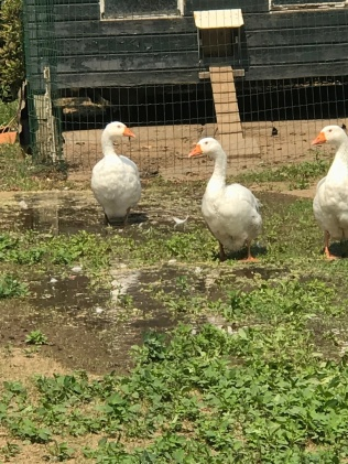 Daar waar het pompwater heeft gelopen is de grond koeler. De ganzen vinden het heerlijk.