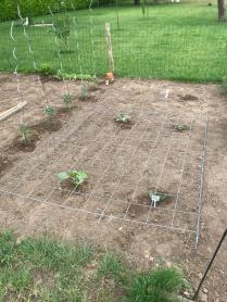 De courgetteplanten moeten over het xraadwerk geleid worden.